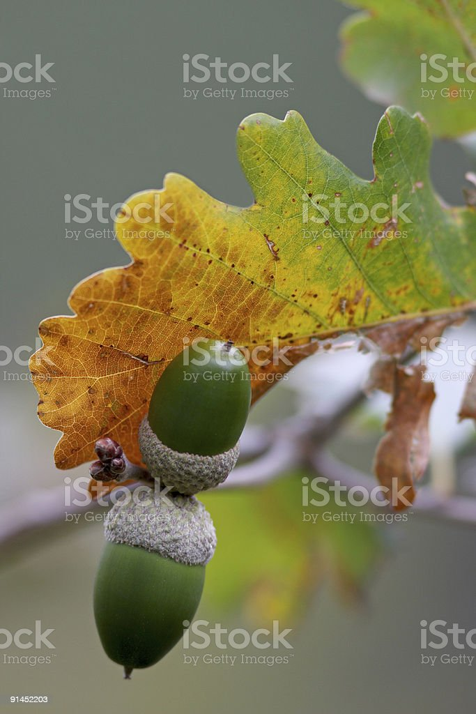 Acorn and autumn leave royalty-free stock photo