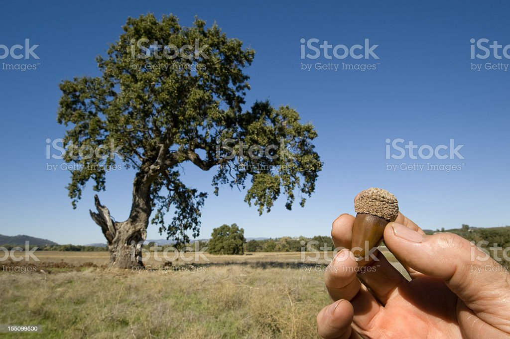 Acorn and Oak Tree stock photo