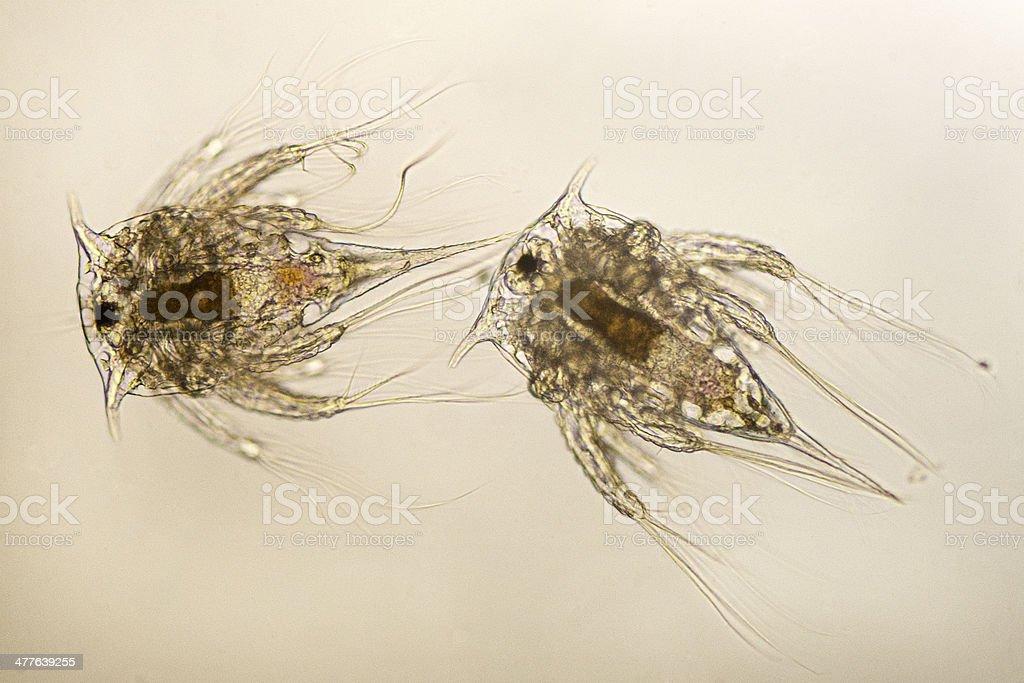 acorn barnacle nauplii  Balanus glandula stock photo