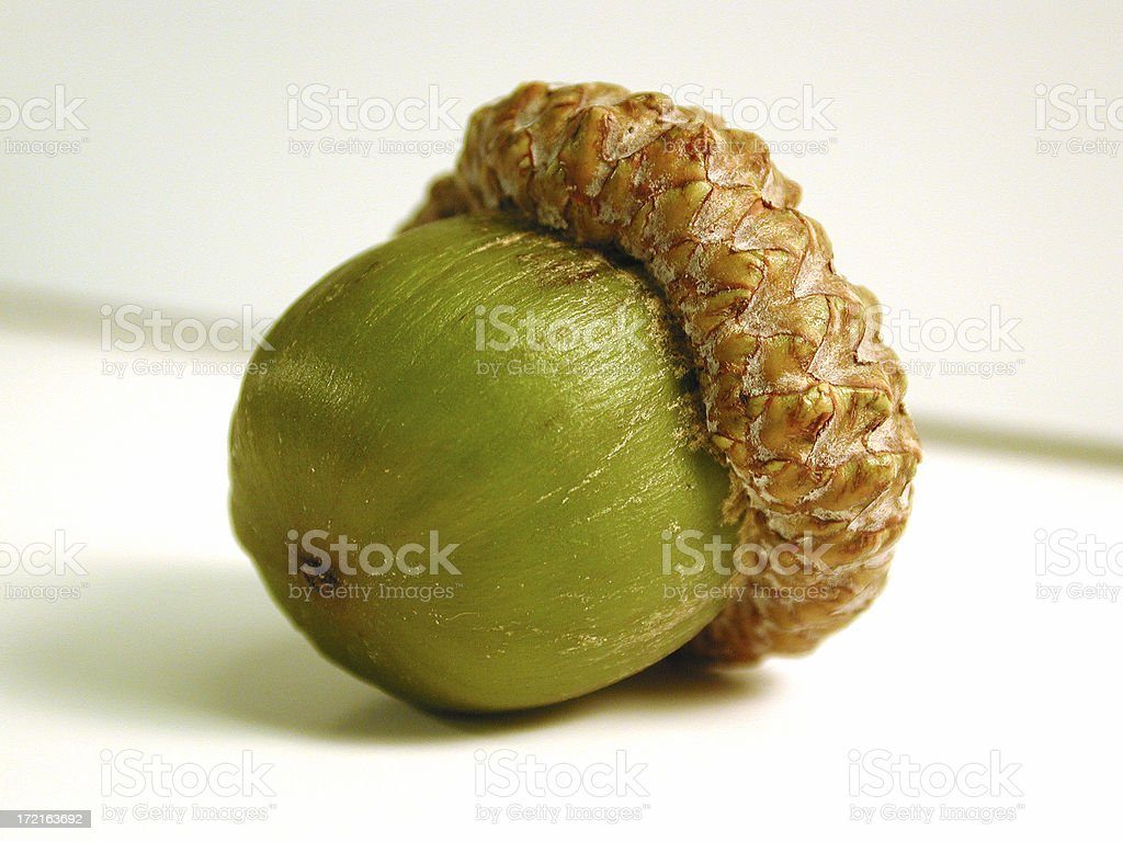 Acorn Close up with path royalty-free stock photo