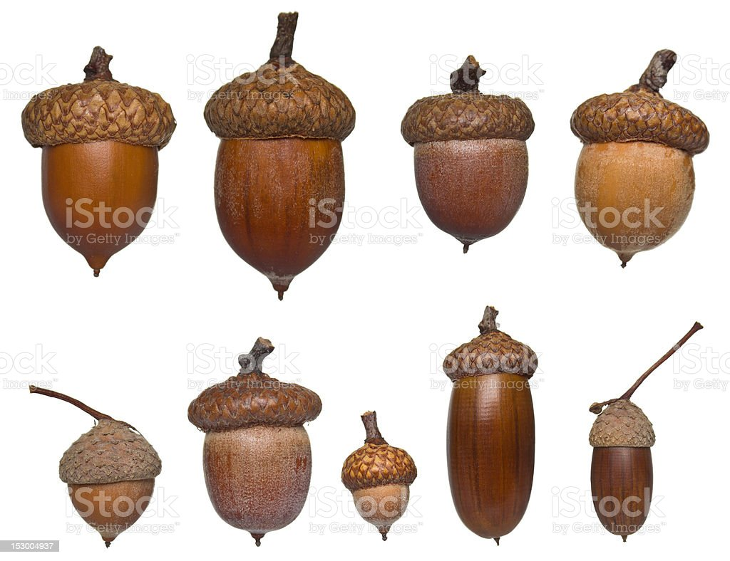 acorn collection stock photo