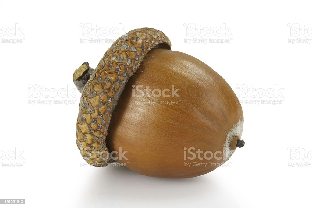 Acorn of autumn stock photo