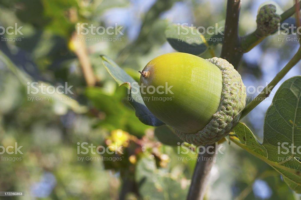 Acorn on oak tree in close up stock photo