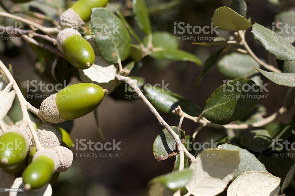 acorn Lizenzfreies stock-foto