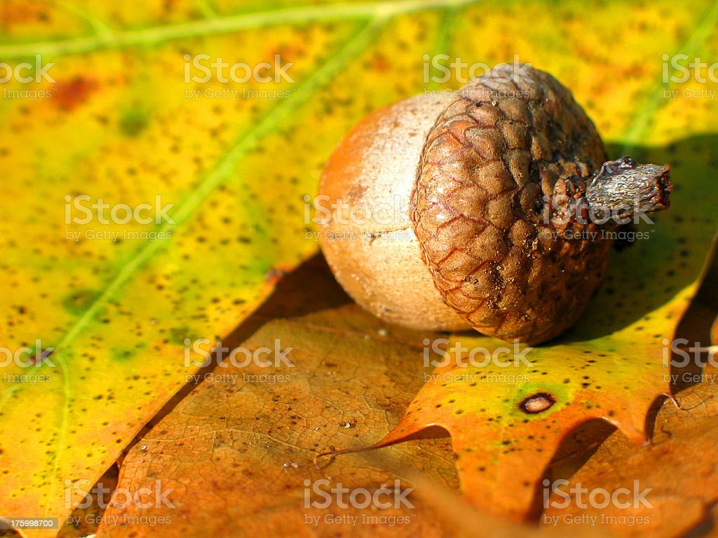 Acorn royalty-free stock photo
