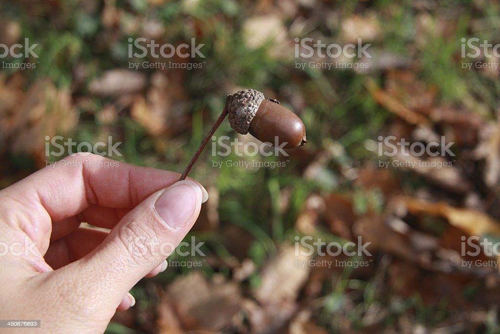 acorn stock photo