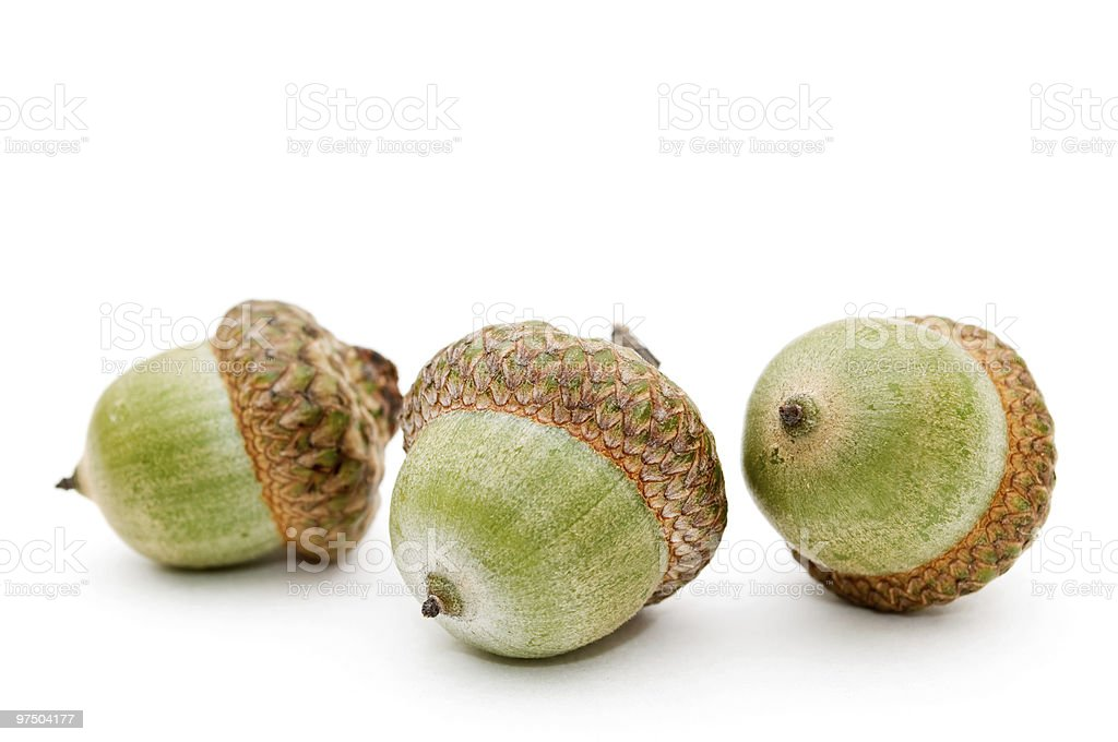Acorn. royalty-free stock photo