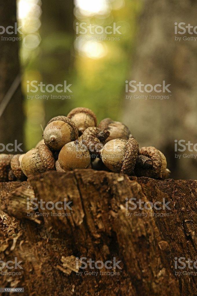 Acorn Stash stock photo