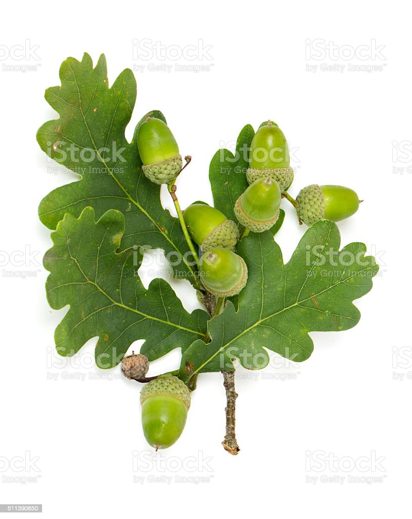 acorn with leaf stock photo