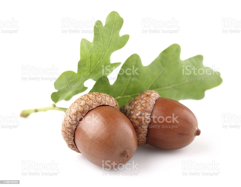 Acorn with leaves stock photo