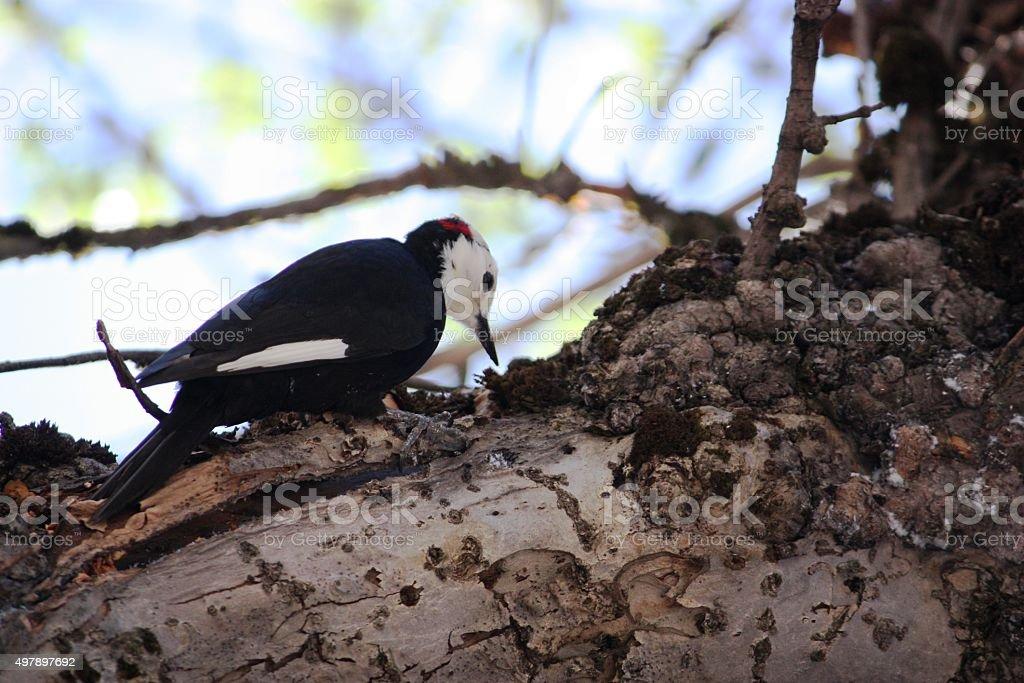 Acorn Woodpecker in Yosemite National Park, California USA stock photo