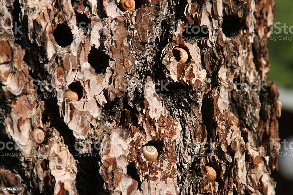 Acorn Woodpecker stock photo