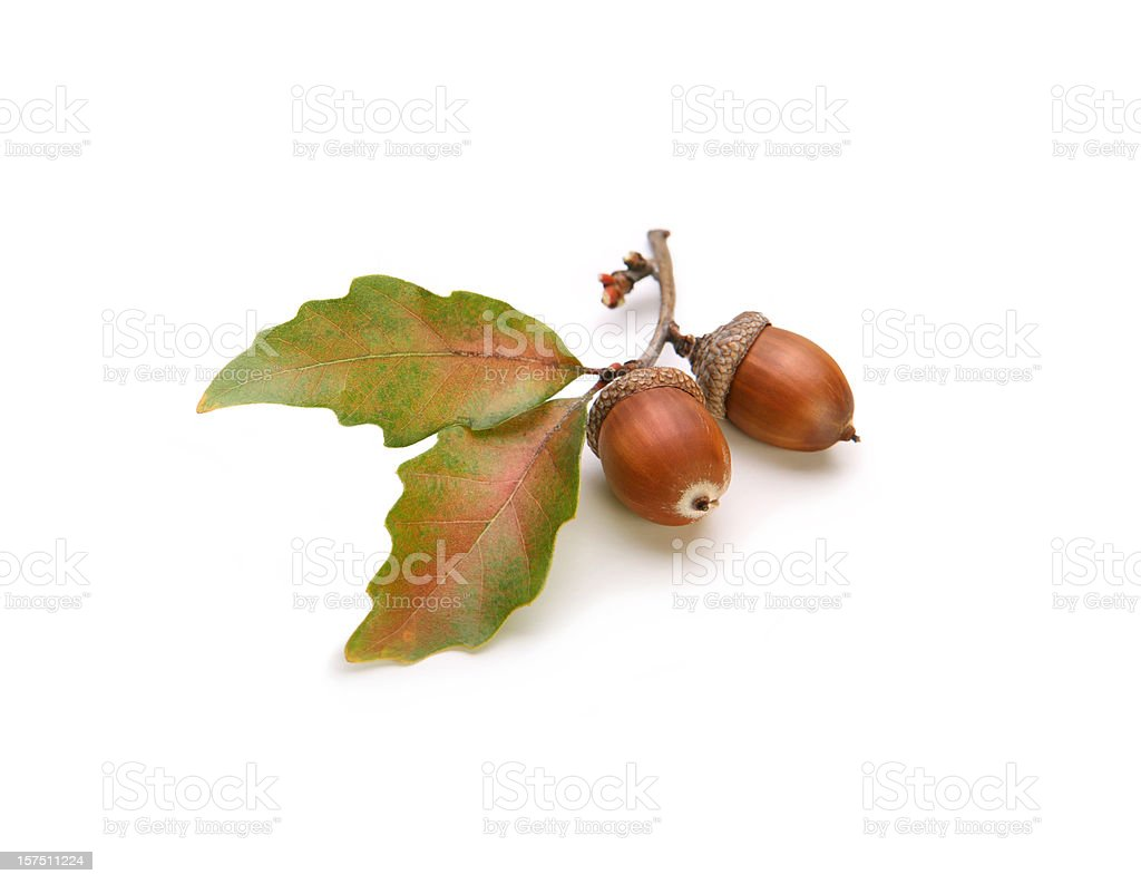 Acorns and Oak Leaves Isolated on White stock photo