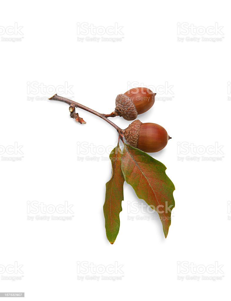 Acorns and Oak Leaves on White Background with Clipping Path stock photo