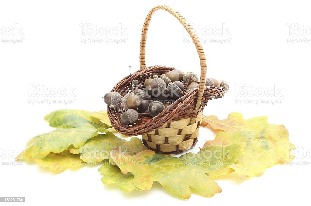 Acorns in wicker basket and oak leaves on white background royalty-free stock photo