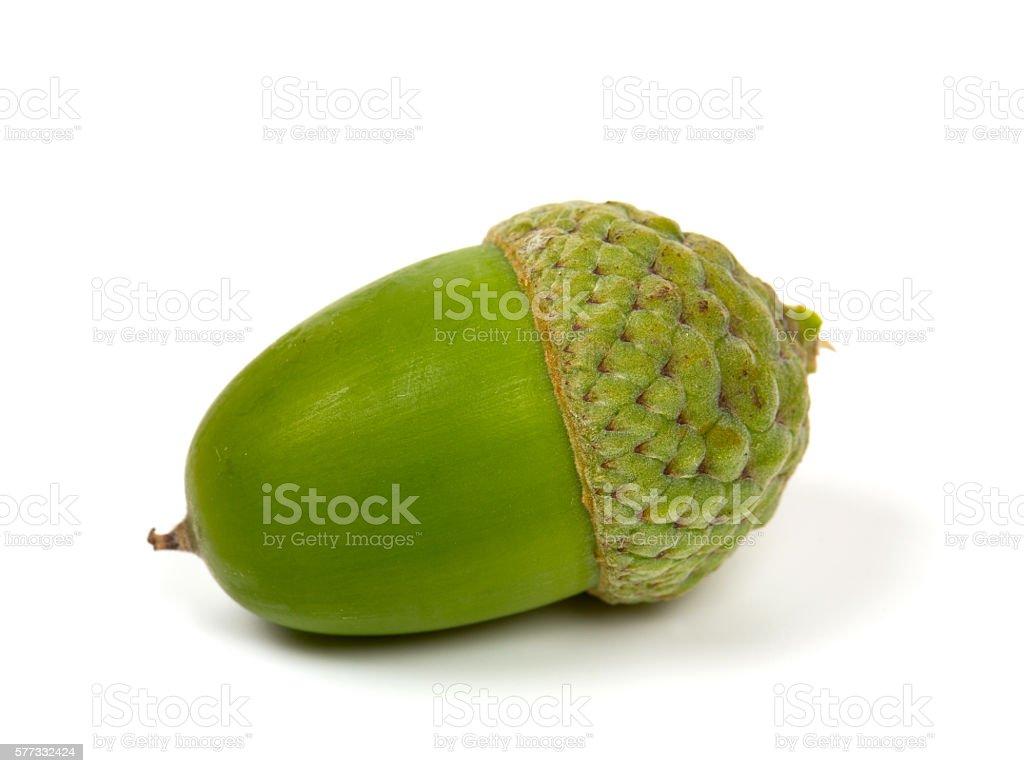 acorns isolated on white stock photo