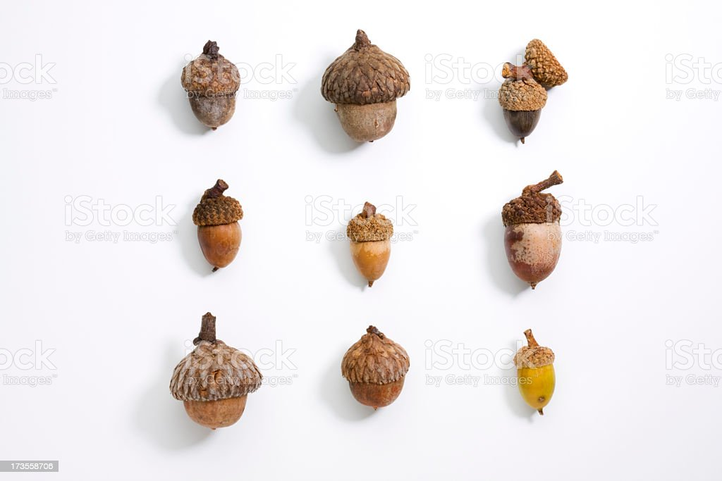 Acorns lined up on white stock photo