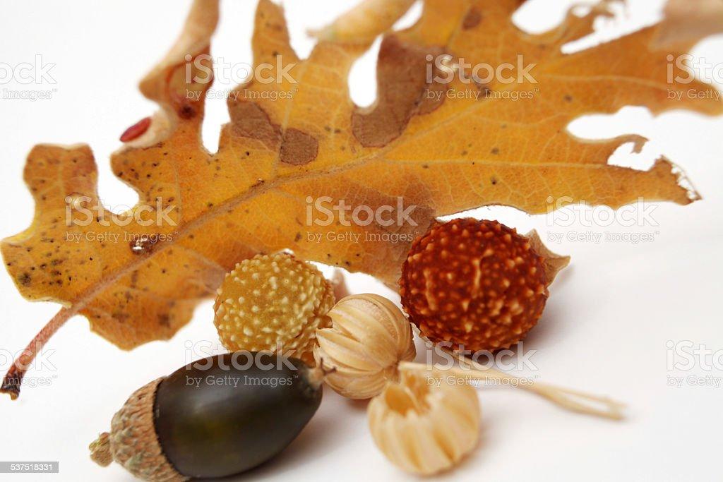 Acorns oak leaves stock photo