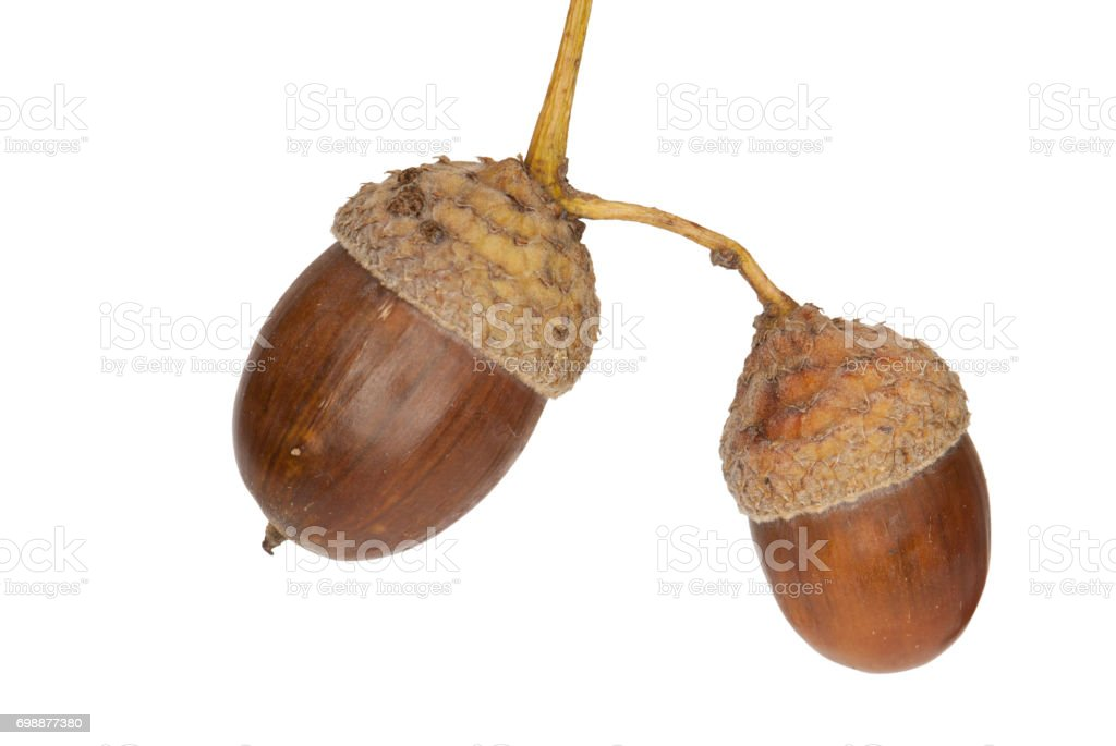 Acorns of a Pedunculate Oak, isolated stock photo