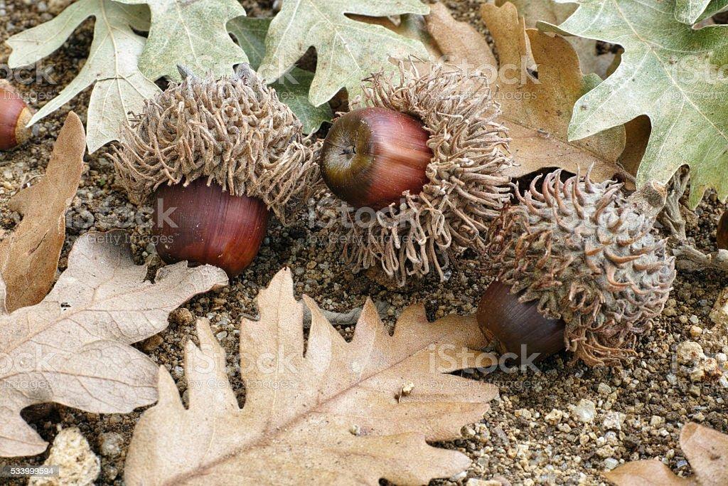 acorns of turkey oak stock photo