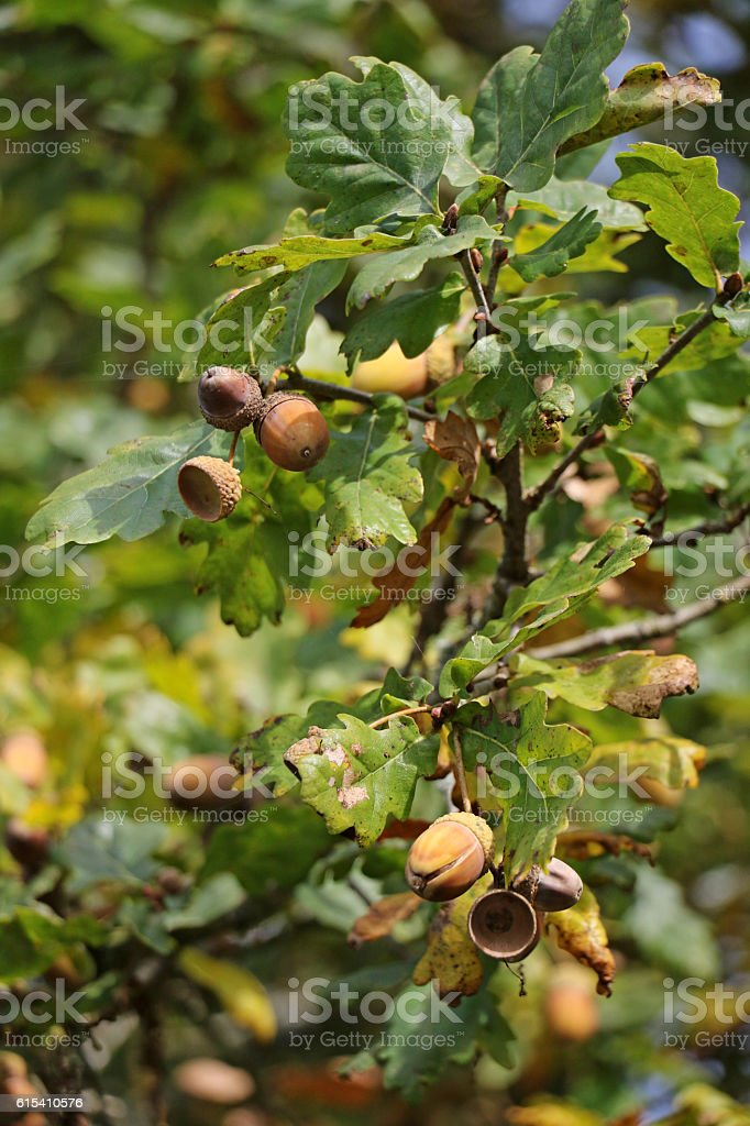 Acorns on an Oak stock photo