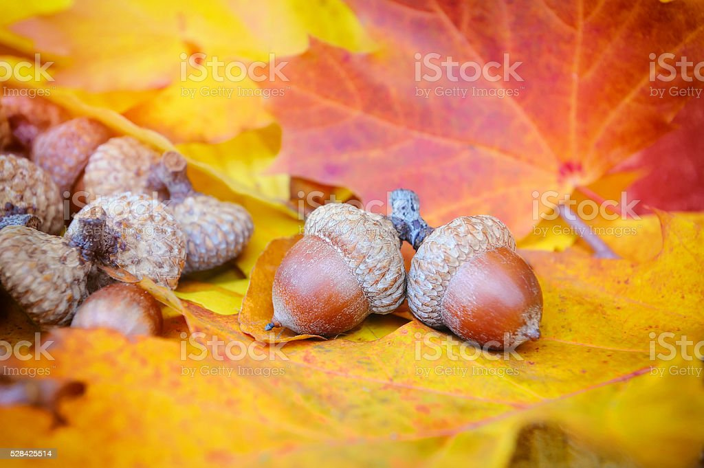Acorns on background colorful fall leaves stock photo