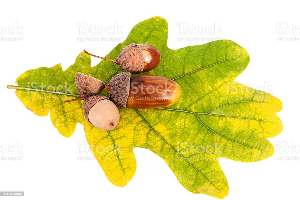 Acorns on oak leaves in autumnal colors, close up stock photo