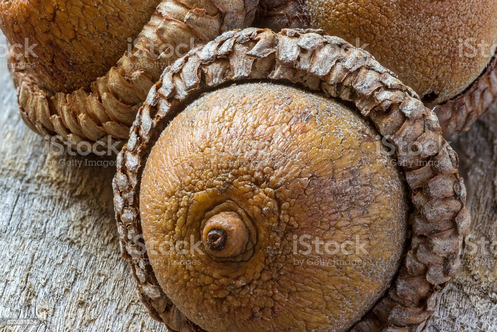 acorns on rustic wooden background stock photo