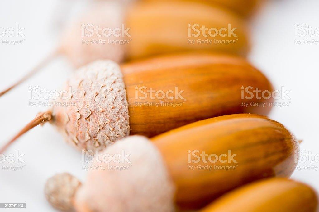 acorns on white background stock photo