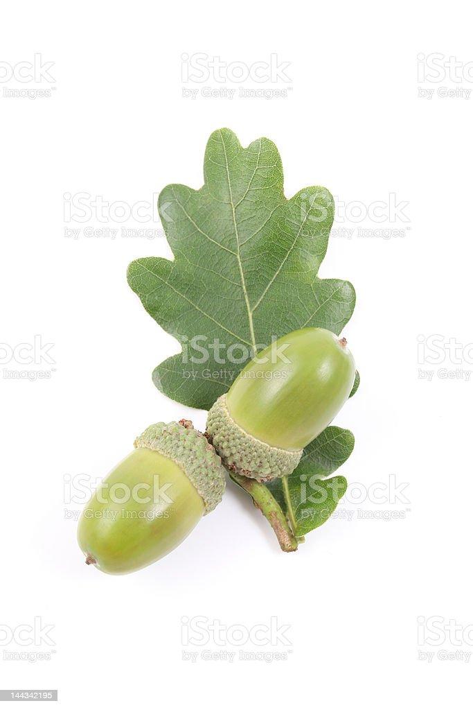 acorns royalty-free stock photo