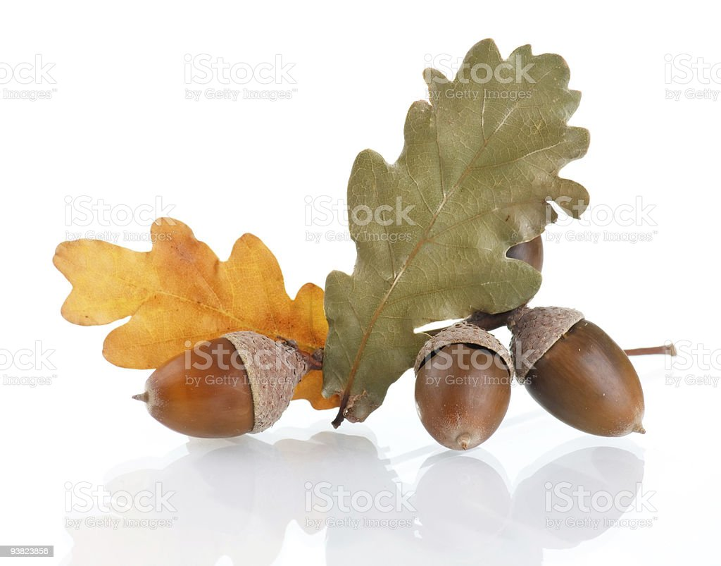 Acorns with an oak leaves royalty-free stock photo