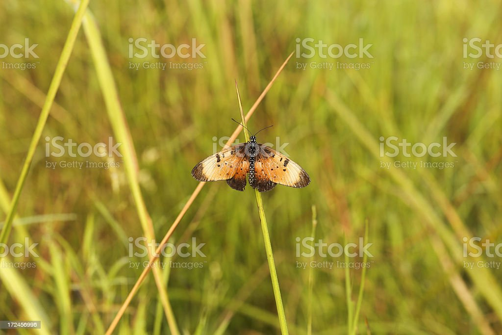 Acraea Butterfly royalty-free stock photo
