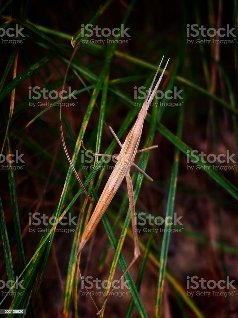 Acrida cinerea on a leaf stock photo