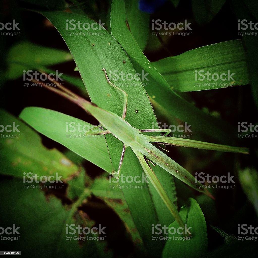 Acrida cinerea on a leaves stock photo