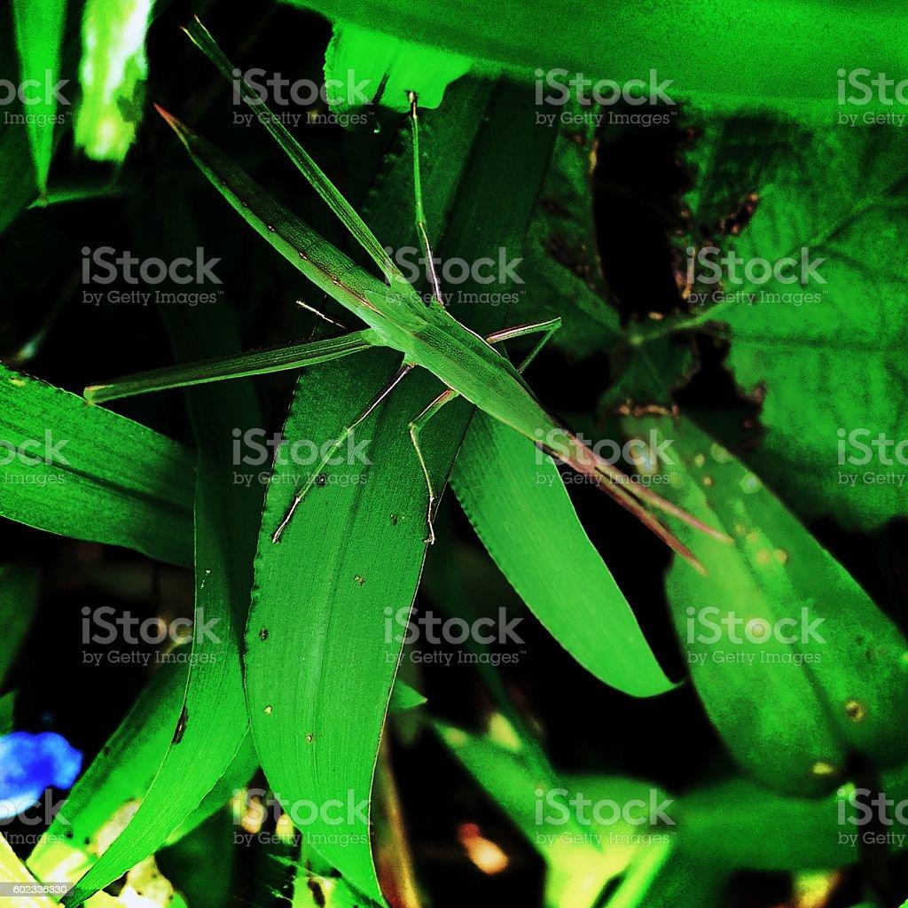Acrida cinerea resting on the leaves stock photo