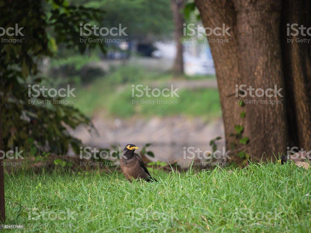 Acridotheres Bird on The Lawn stock photo