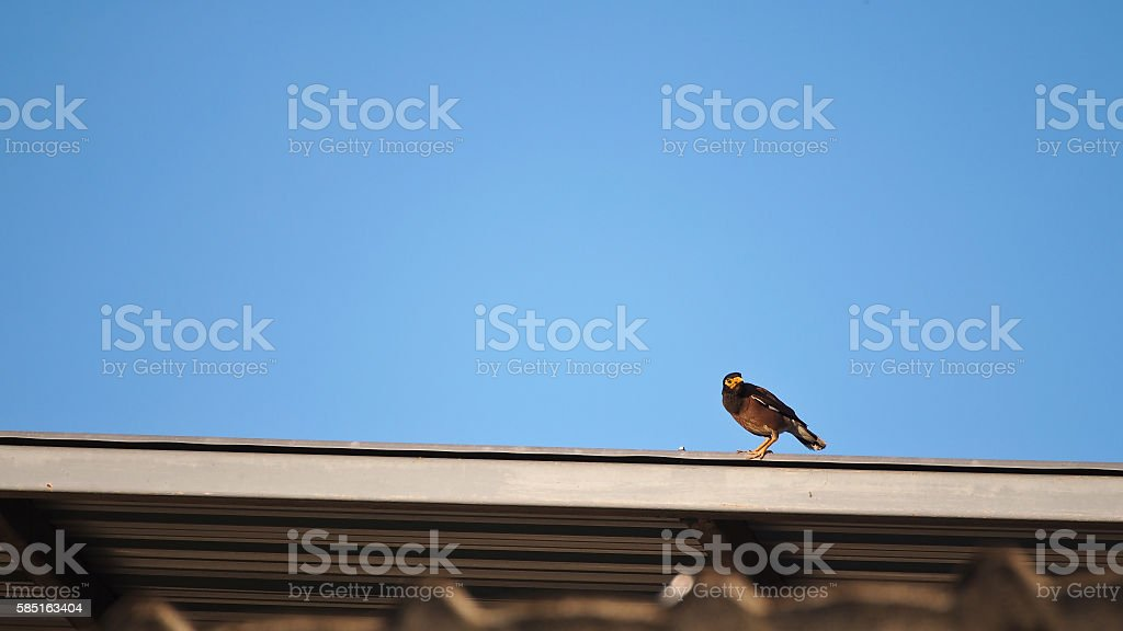 Acridotheres Bird stock photo
