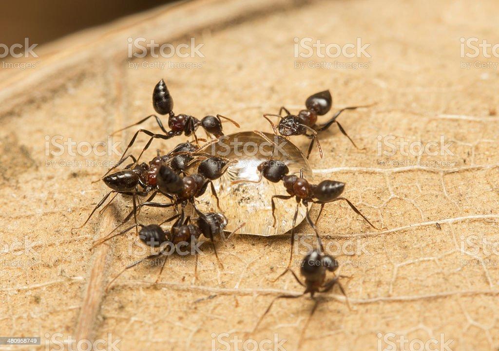 Acrobat Ant stock photo