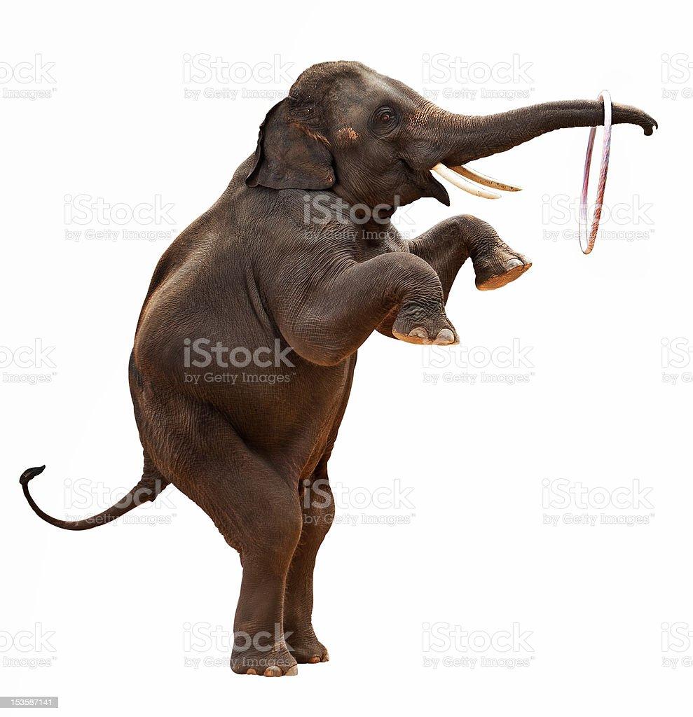 acrobatic Elephant isolated stock photo