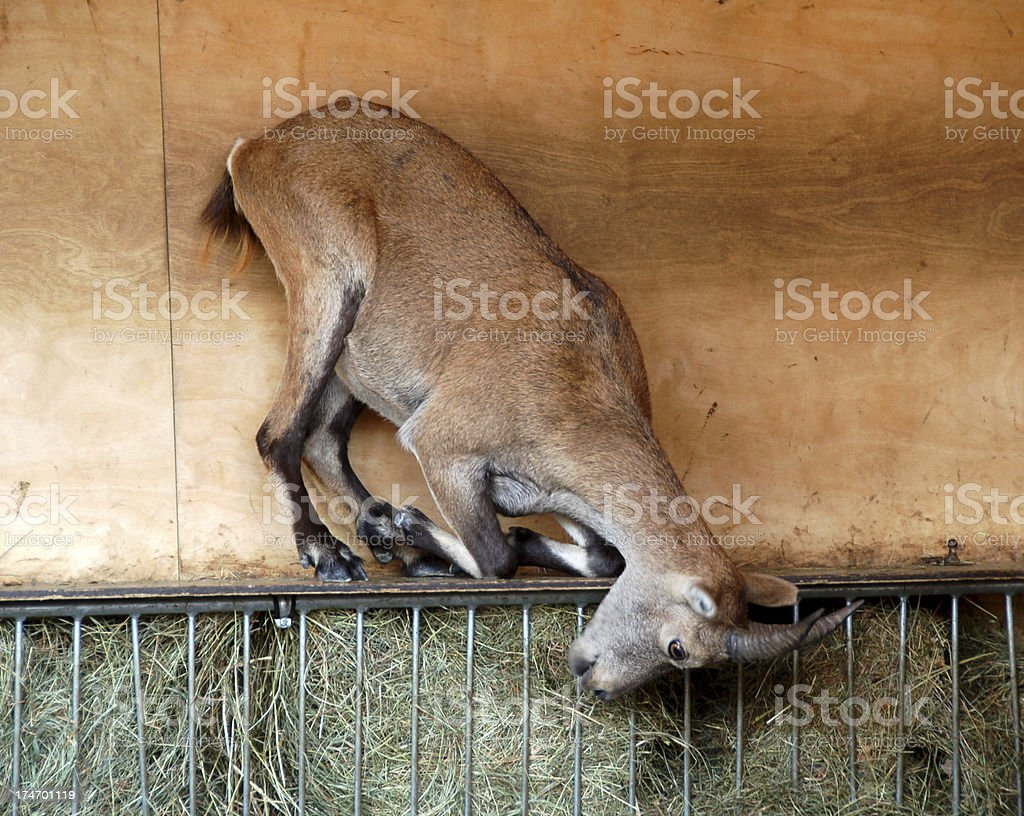 Acrobatic Goat royalty-free stock photo