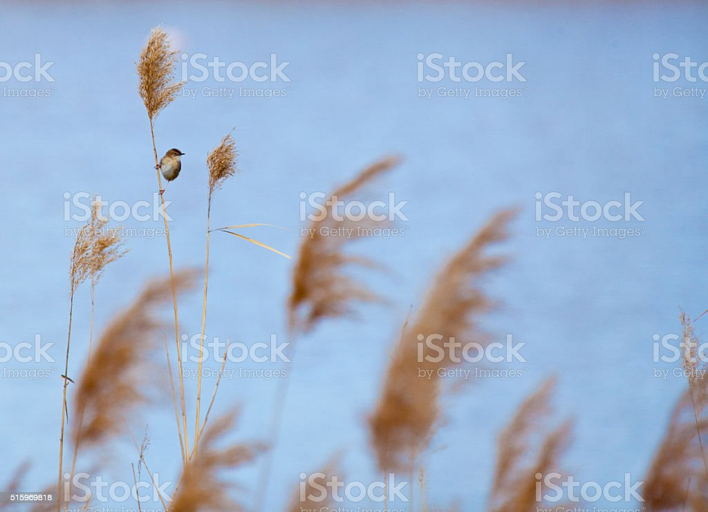 Acrocaphalus in cane stock photo