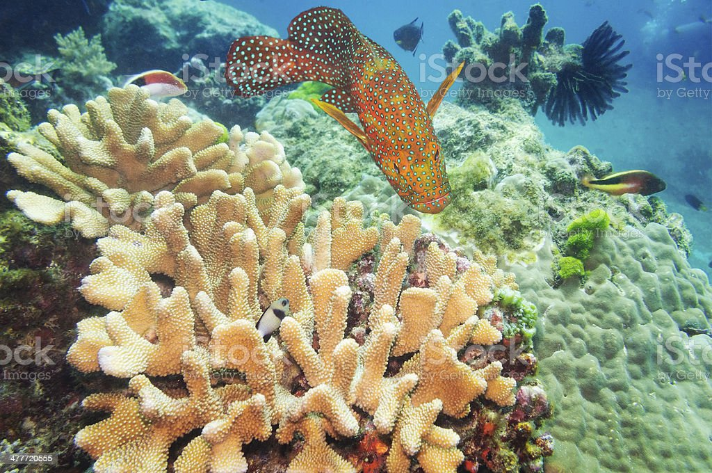 Acropora and Coral Hind, Similan Islands coral reefs, Phuket, Thailand stock photo