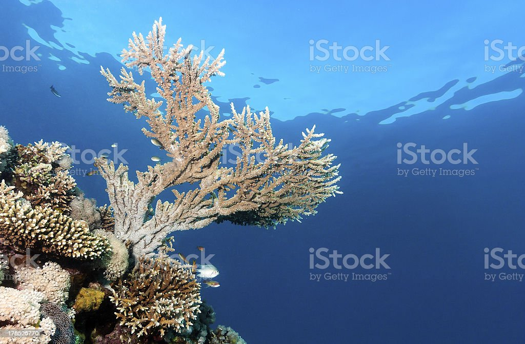 Acropora coral near the surface royalty-free stock photo