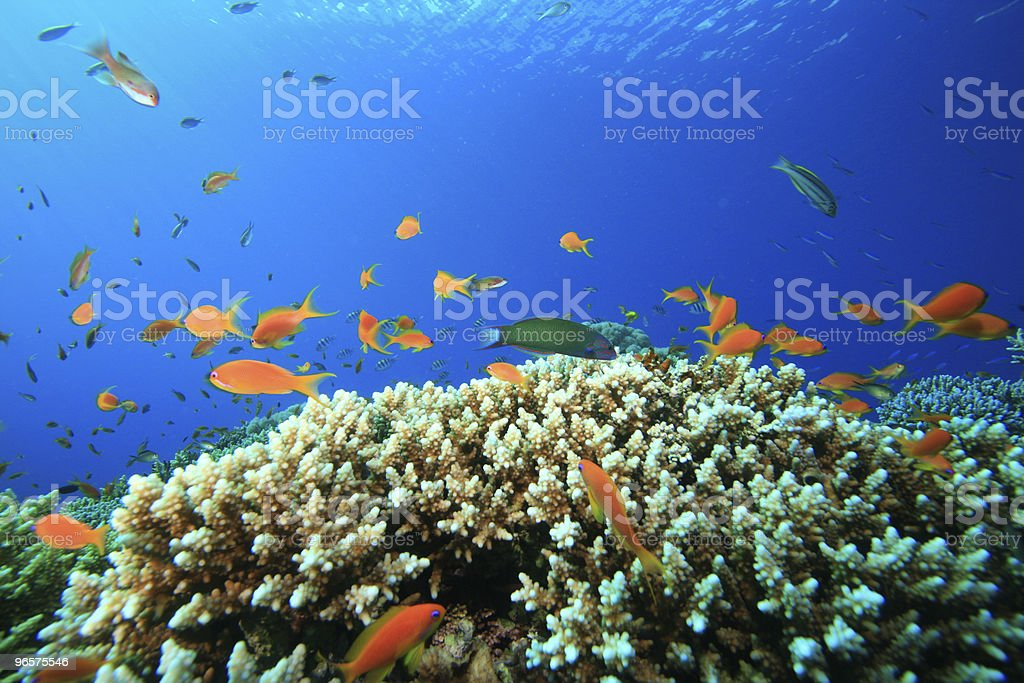 Acropora Coral royalty-free stock photo