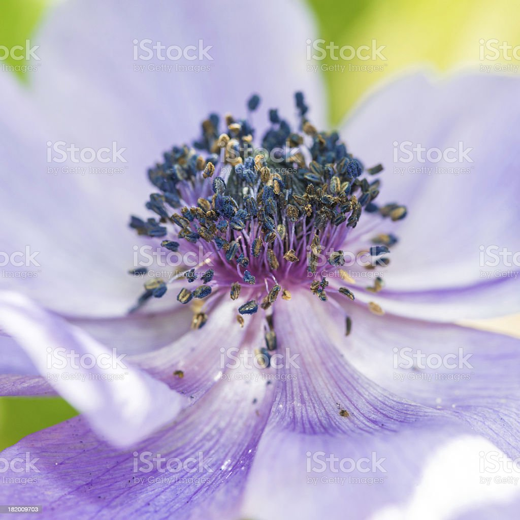 Across The Anemone royalty-free stock photo