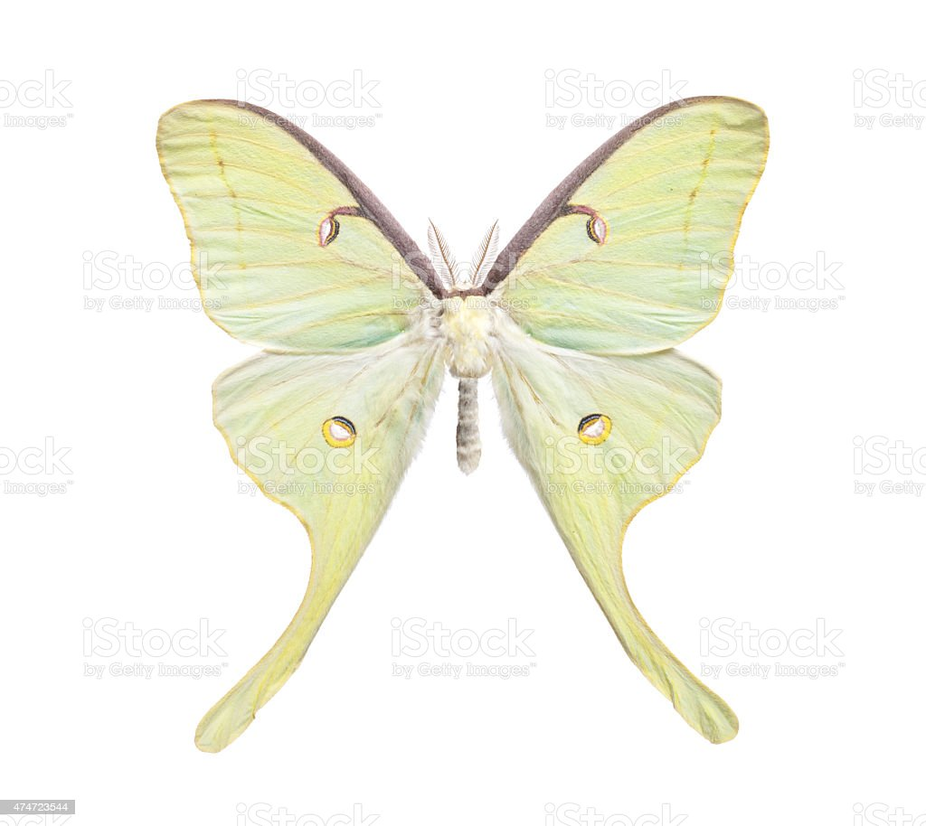 Actias Luna Moth Isolated on White stock photo
