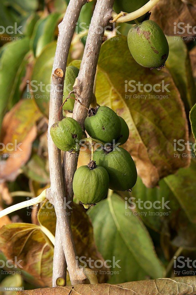 Actinidia fruits royalty-free stock photo