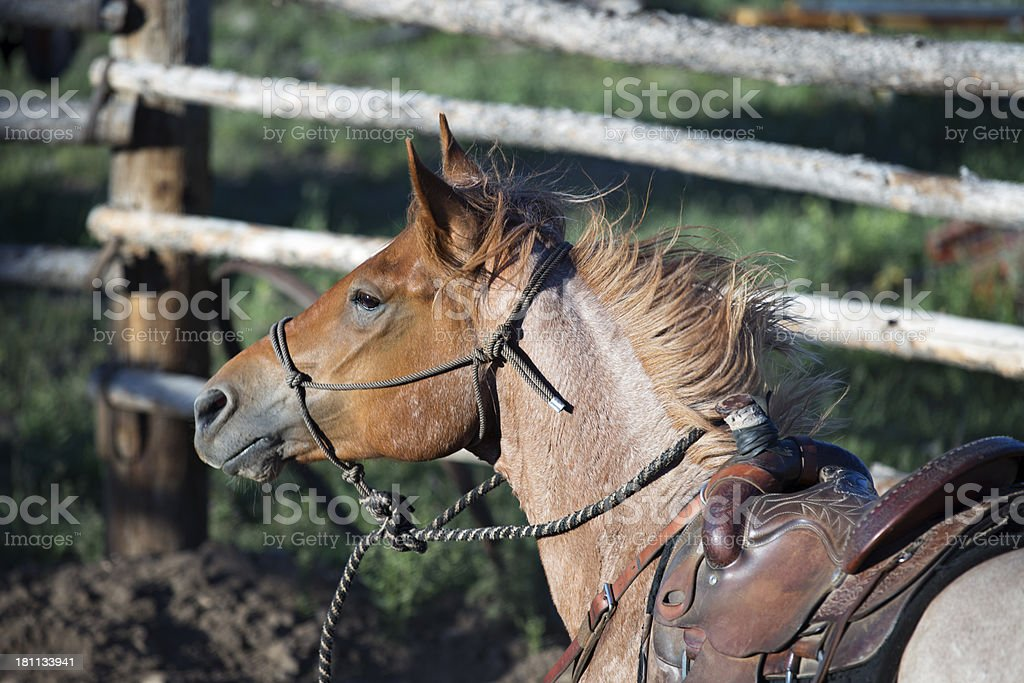 Action Shot of Horse Working In Round Pen royalty-free stock photo