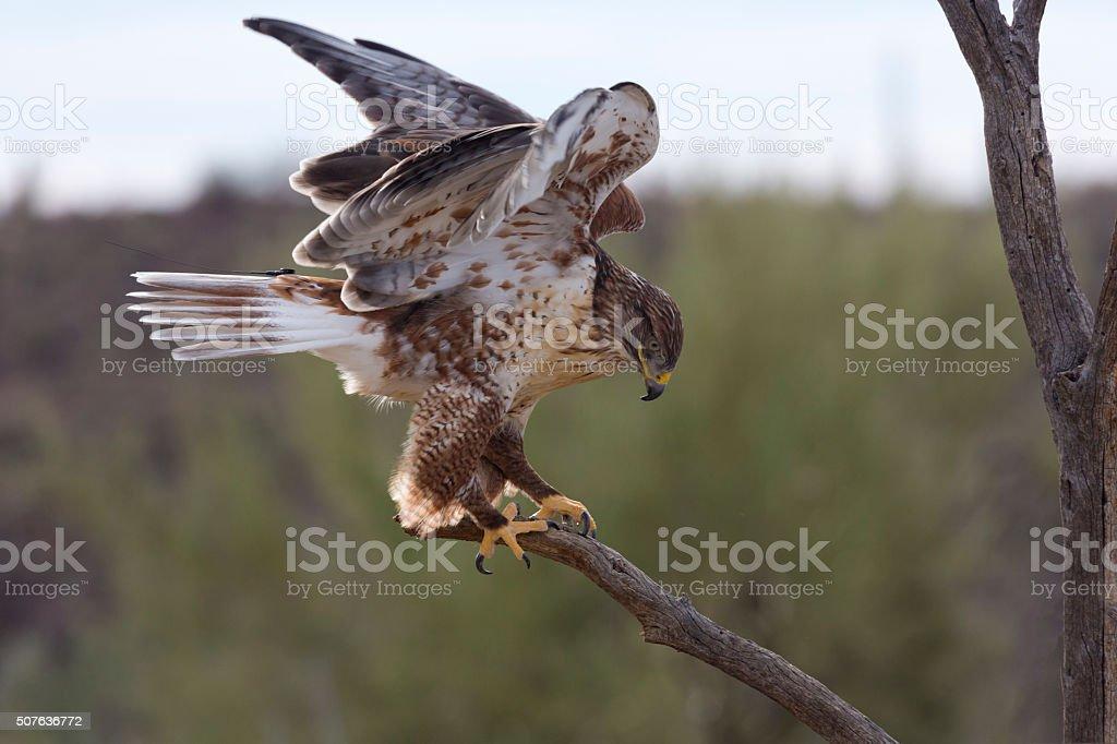Active ferruginous hawk in Arizona stock photo