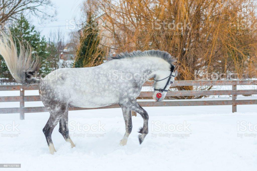 Active gray horse galloping through the snow stock photo